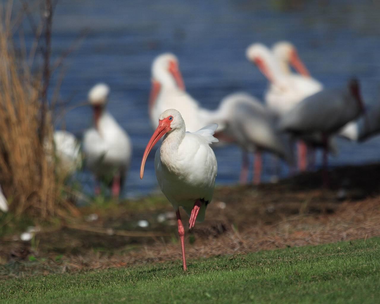 フロリダの野鳥(その1) トキの仲間_f0105570_22153017.jpg