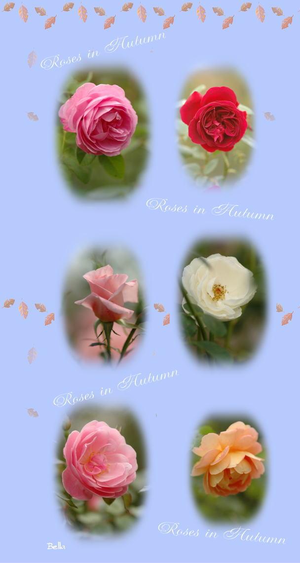 京成薔薇園の秋バラ_f0012718_7573195.jpg