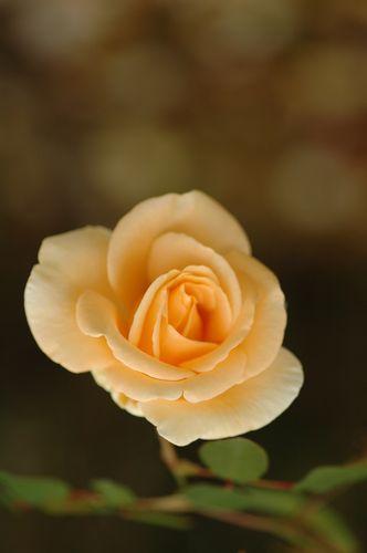京成薔薇園の秋バラ_f0012718_9105739.jpg