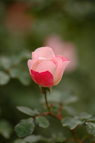 京成薔薇園の秋バラ_f0012718_9173487.jpg