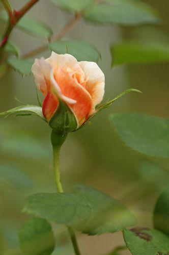京成薔薇園の秋バラ_f0012718_9175644.jpg