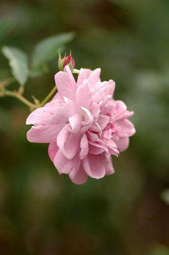 京成薔薇園の秋バラ_f0012718_9212637.jpg