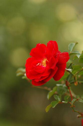 京成薔薇園の秋バラ_f0012718_9265821.jpg