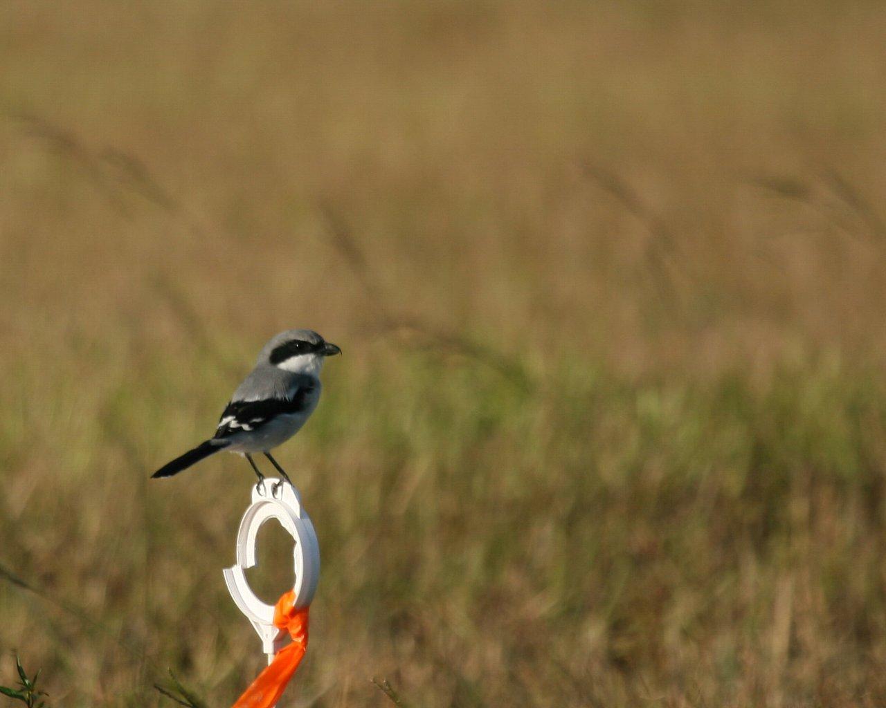 フロリダの野鳥(その4) モズの仲間_f0105570_21345126.jpg