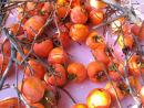 今年も庭の柿取り終了_e0092612_1013222.jpg