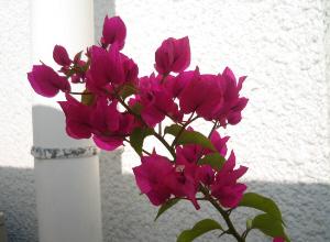 ピンクがかった赤のブーゲンビリア。まるで今が盛り?のように咲き誇っています。