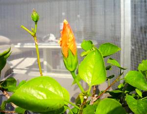 艶やかな濃い目の黄緑色の葉っぱに、大きな蕾が手前にひとつ、向こうに小さな蕾がもうひとつ見えています。黄色い蕾で大きなほうは、まもなく花びらを広げそうです。