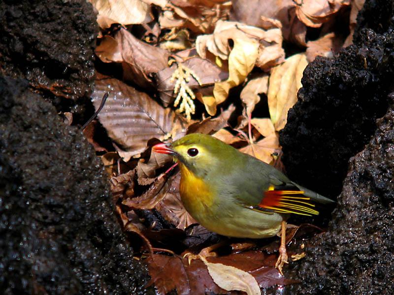 カゴ抜けの綺麗な鳥_b0024798_665450.jpg