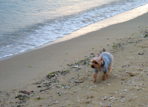 打ち寄せる波の間近を走るわんこ。寄ってくる波にちょっと腰が引けている様子。波とかけっこしてるつもりなのかな?