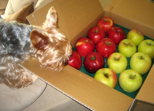 りんごの入ったダンボール。わんこが首を突っ込んで匂いをくんくん嗅いでいる様子。真っ赤なりんごと青リンゴが半分ずつ入っています。