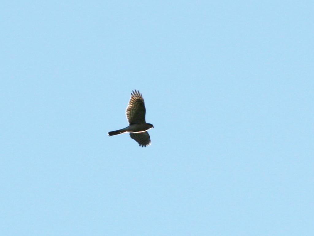 likebirds妻のオオタカ likebirds夫のトビ_a0052080_2142011.jpg
