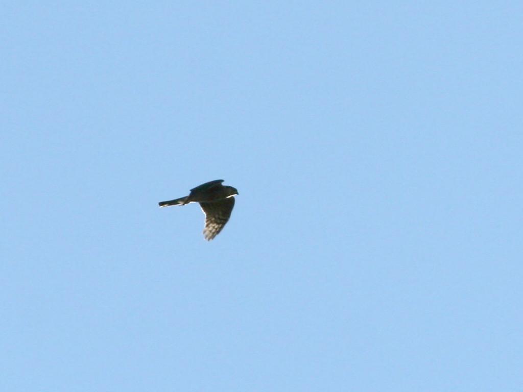 likebirds妻のオオタカ likebirds夫のトビ_a0052080_2143265.jpg