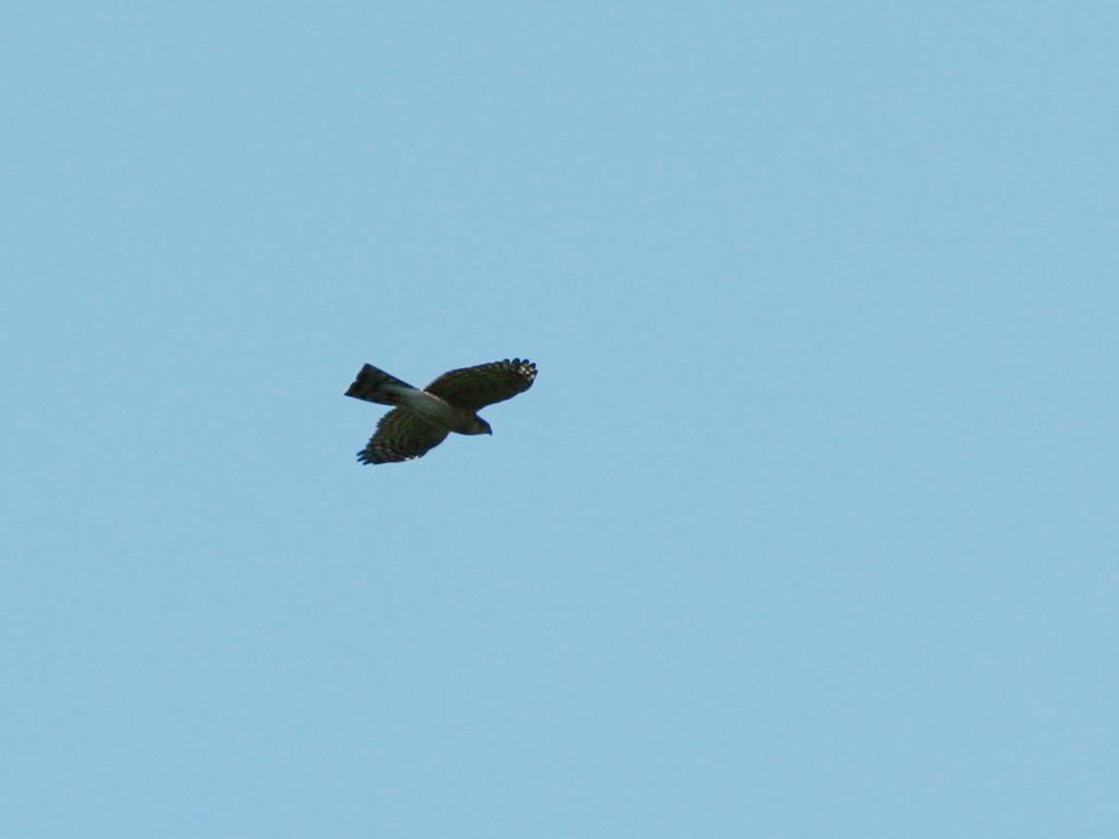 likebirds妻のオオタカ likebirds夫のトビ_a0052080_214480.jpg