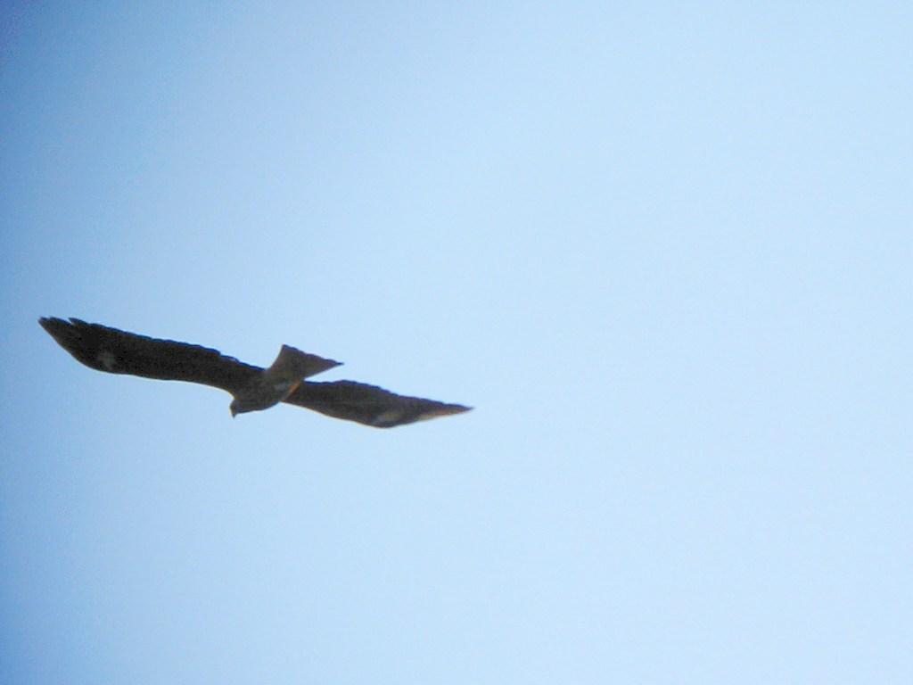 likebirds妻のオオタカ likebirds夫のトビ_a0052080_2145063.jpg