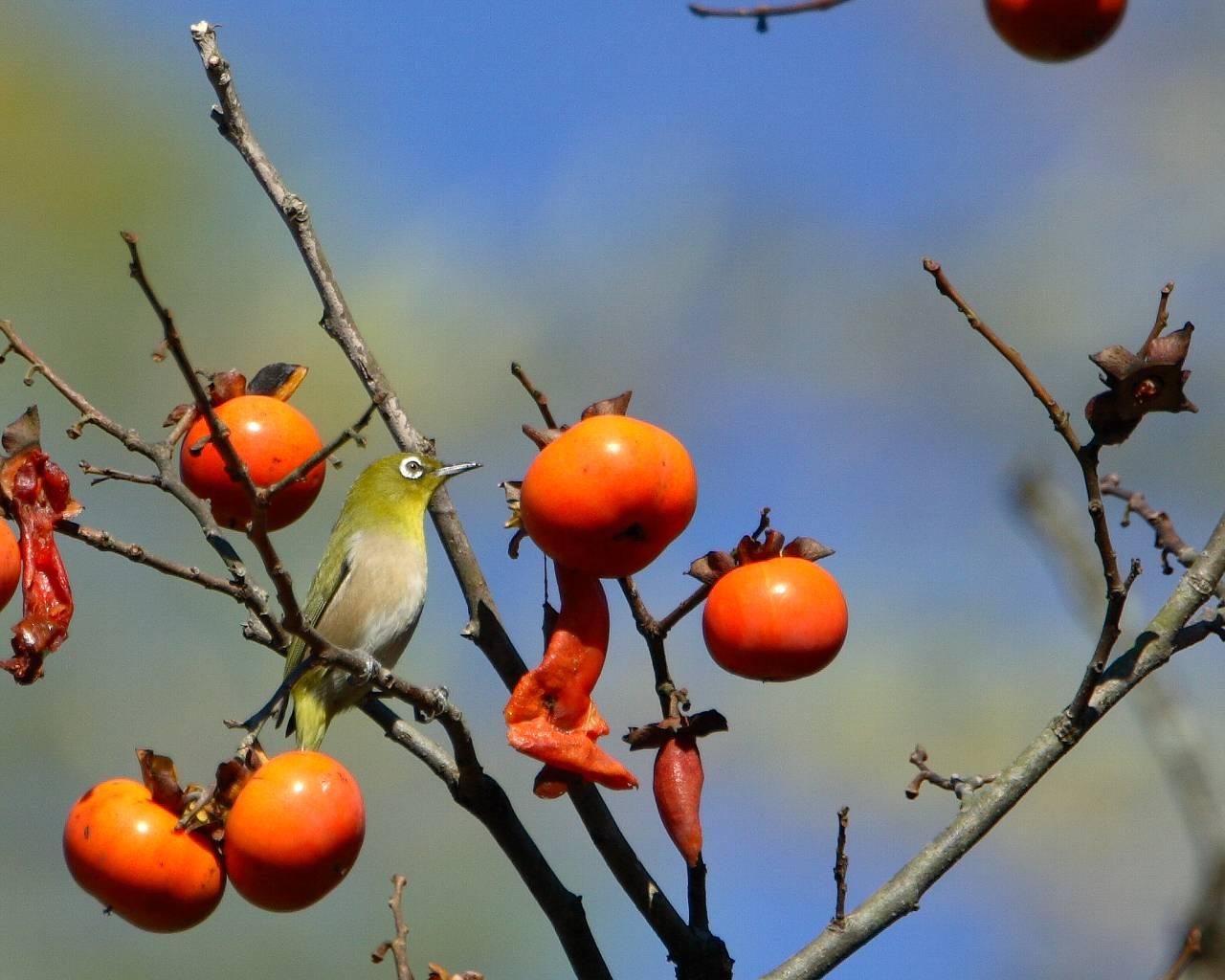 柿に来たメジロ(秋らしい野鳥の壁紙)_f0105570_2234946.jpg