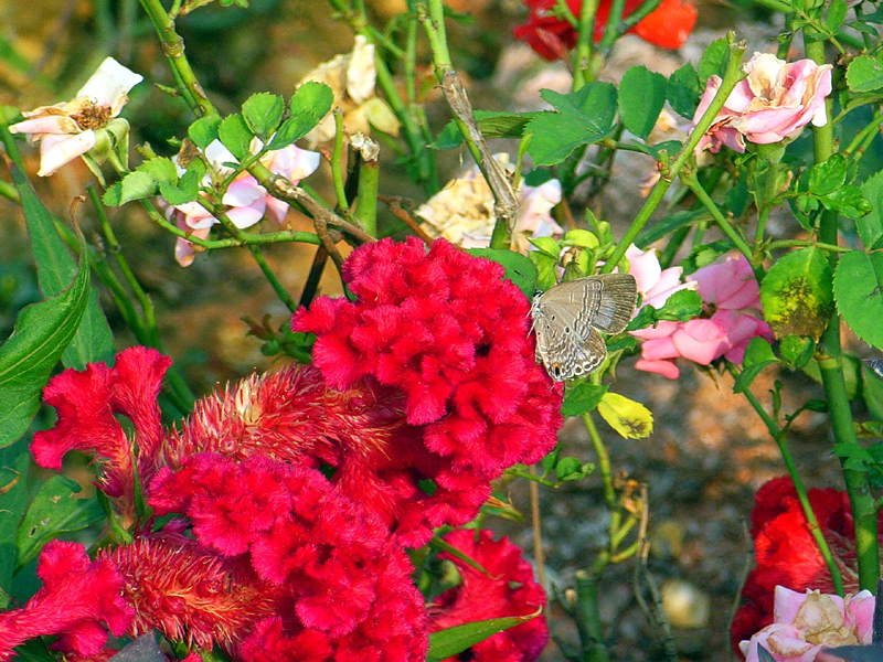 香港の蝶(2)_d0054625_2257533.jpg
