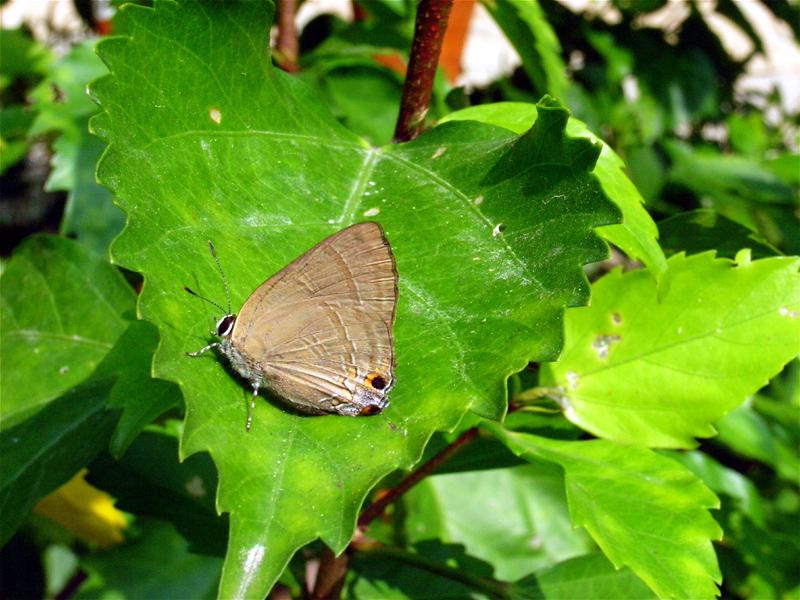 香港の蝶(2)_d0054625_2313570.jpg