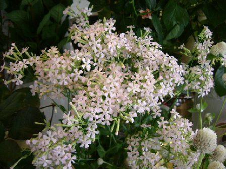 オークリーフ(そろそろ春の花も)_f0049672_130674.jpg