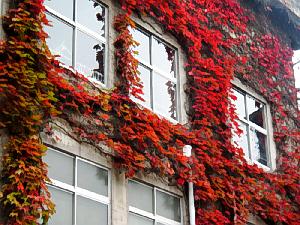 真っ赤に紅葉した蔦の写真。窓の周りを取り囲むように蔦が絡んで、紅葉の中に窓があるようですね。