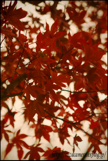 Red leaves_f0100215_23501616.jpg