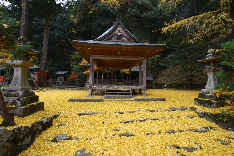 散りイチョウに覆われる神社(岩戸落葉神社)_e0051888_18342076.jpg