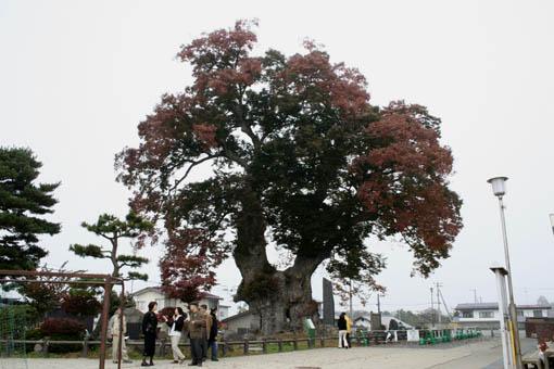 11月初旬連休旅行09 : 東根の大ケヤキ_e0054299_85811.jpg
