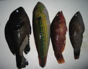 ヘッポコ釣り氏に釣られて、恨めしげな魚が4匹頭を上にして並んでいます。