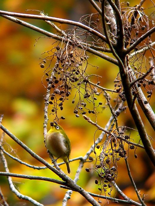 秋色の背景でメジロ_e0016894_025670.jpg