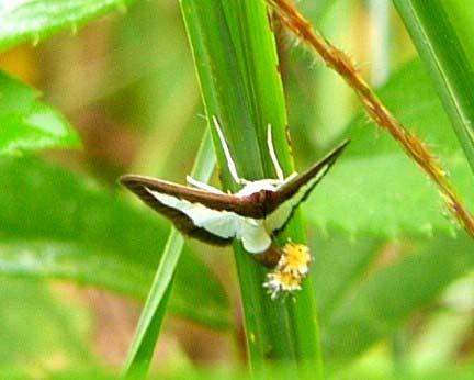 綺麗な蛾をお持ちしました_b0025008_21374740.jpg