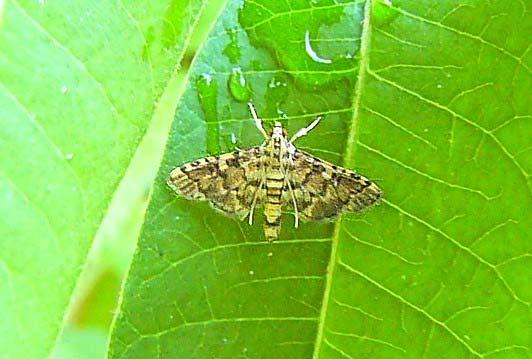 綺麗な蛾をお持ちしました_b0025008_213875.jpg