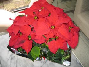 真っ赤な大ぶりの鉢のポインセチア。葉がまるで作り物のようです。