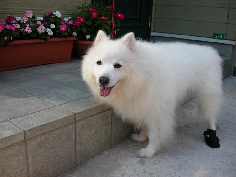 白の長毛犬(MIX,雑種)、スピッツ ミルコ、探しています。_e0107049_11465988.jpg