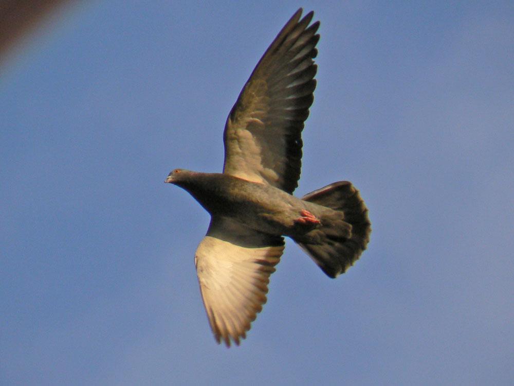 飛んでいるハトさんのアップ_e0088233_2223464.jpg