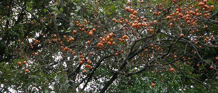 柿の実_c0085543_16422770.jpg