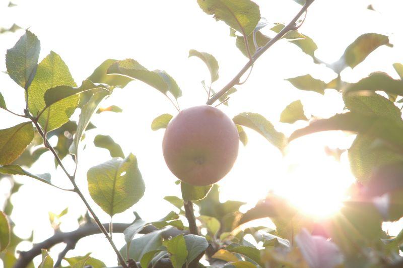 りんご_d0095471_17454688.jpg