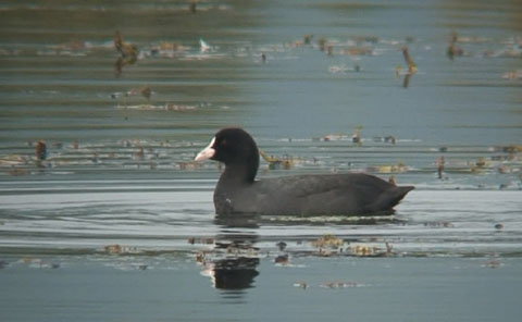 オオバン (Common Coot)_c0047906_13314426.jpg