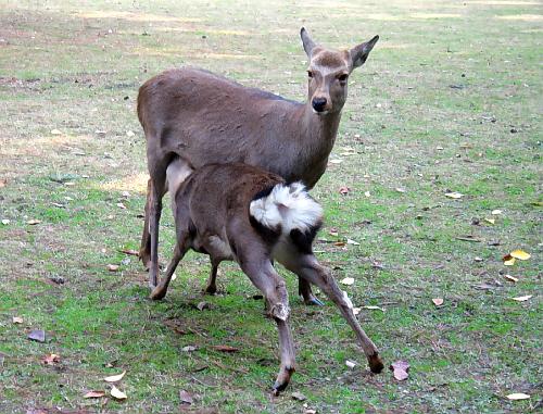 お母さん鹿のおっぱいに、身体はもう大人?のような小鹿が顔を突っ込んでお乳を飲んでいる様子。小鹿の白い毛のお尻がカワイイです。