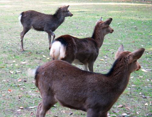 緑の芝の中の3頭の鹿。みな同じ方向をじーっと凝視しています。