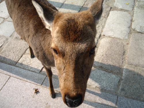 雌の鹿の顔のアップ画像。上目遣いの目線の先は、きっと鹿せんべいだと思います。