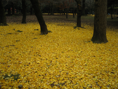 黄金色と形容するに相応しい色合いの銀杏の葉の絨毯。銀杏の木々の黒っぽい色合いが、黄金の絨毯を一層引き立てています。まるで絵画の世界のようなひとコマ。
