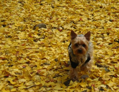 黄色の絨毯の中のわんこ。こちらに向かって走ってくる瞬間の写真。顔が訝しげなのはたぶん銀杏の実の匂いのせいではないかと思われます(笑)