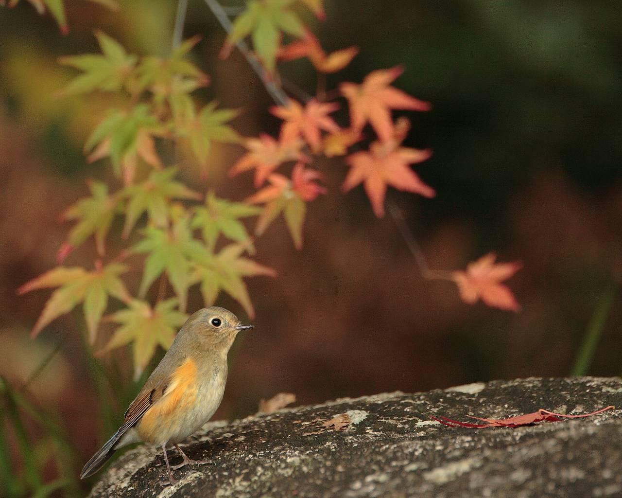 可愛い子が山から降りて来ました。(野鳥と紅葉の晩秋らしい壁紙)_f0105570_2125787.jpg