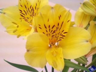 アルストロメリア新品種 2007年(5)_d0062298_1427398.jpg