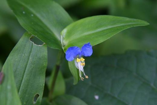 ツユクサ科(Commelinaceae)_d0096455_173121.jpg