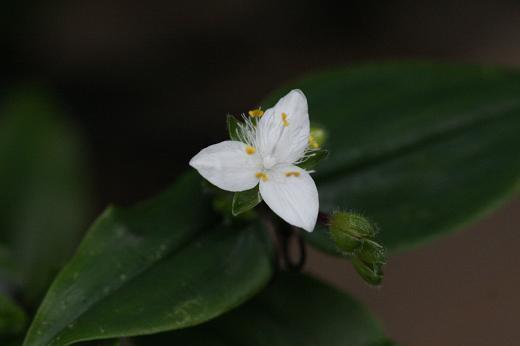 ツユクサ科(Commelinaceae)_d0096455_1734641.jpg