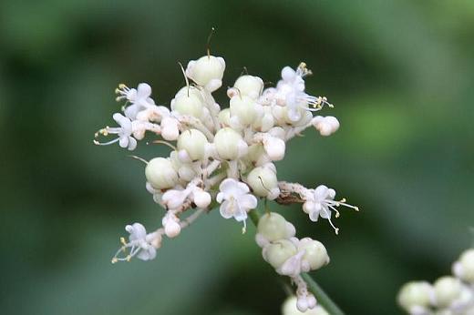 ツユクサ科(Commelinaceae)_d0096455_1743094.jpg