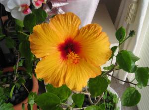 黄色の朝顔を大きくしたような大きな花が咲いています。真ん中がオレンジ色でいかにも夏の花という感じ。