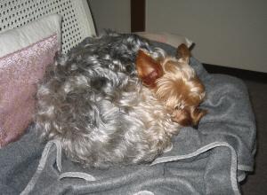 上記の膝掛けの上で、首もすっぽりと丸くうずくまって、完全に寝入っている様子。
