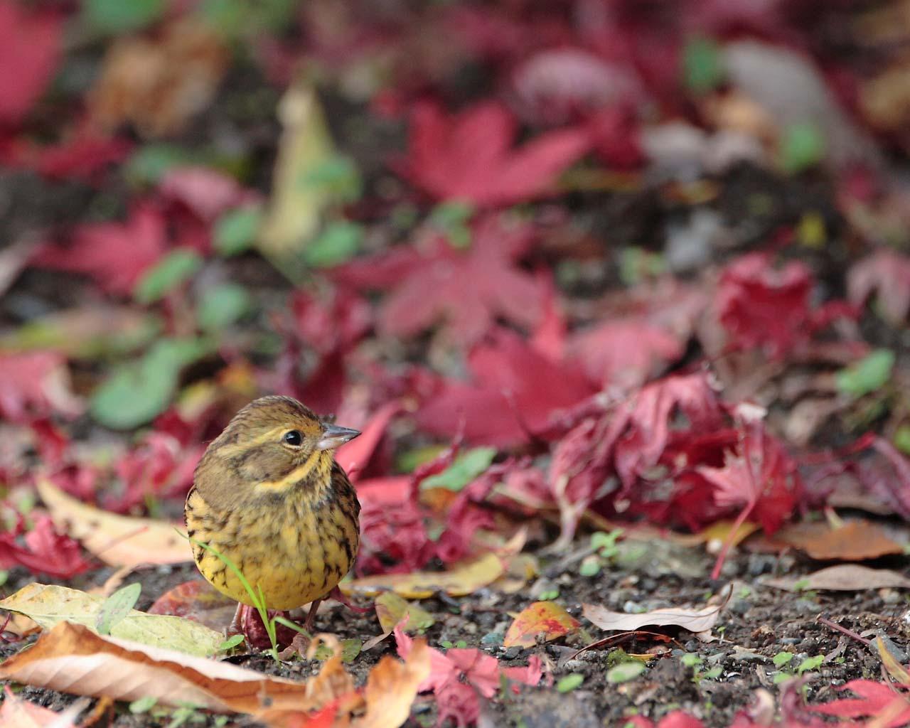 アオジと紅葉の落葉(晩秋らしい野鳥の壁紙)_f0105570_22111486.jpg