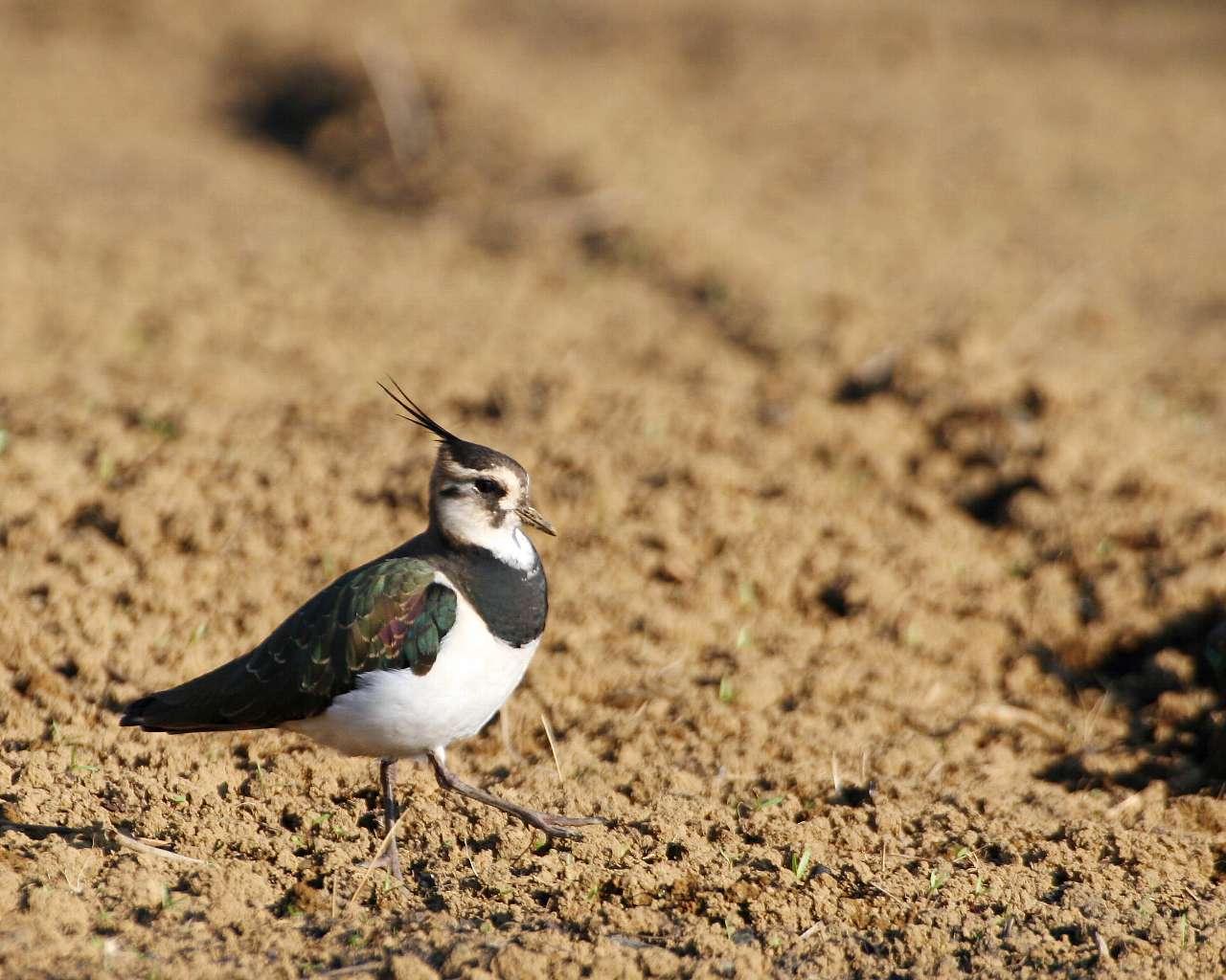 冬の鳥:タゲリ_f0105570_23535261.jpg